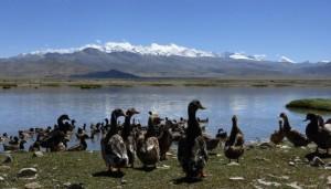 Ducks-in-Tibet