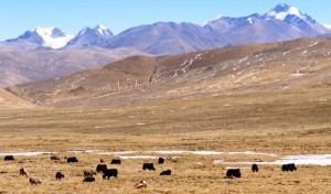 Tibet - Lovely Yak studded valley on the drive out to Cho Oyu